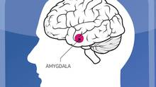 Illustration showing the location of the amygdala.