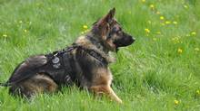 Quanto the police dog is shown in an Edmonton Police Service handout photo. Quanto has died after being slashed while helping to capture a suspect involved in a pursuit. (EDMONTON POLICE SERVICE/THE CANADIAN PRESS)