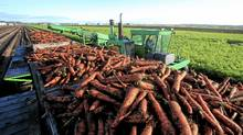 Jumbo carrots being harvested at the Visser Brothers Farm. (Peter Power/The Globe and Mail/Peter Power/The Globe and Mail)