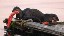 A pair of sea otters eat a salmon near dawn at Esquimalt, B.C., on Vancouver Island, in this 2010 photo. They caught the fish in nearby waters and devoured it on a small dock. (ANDY CLARK/REUTERS)