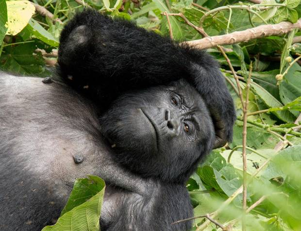 A gorilla relaxes on a pile of leaves in Bwindi Impenetrable Forest.
