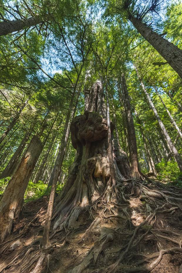 Named after James Cameron's epic 2009 movie, Avatar Grove home to some of the most ancient trees on Vancouver Island