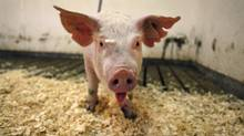 The first case of a deadly pig virus that has killed millions of baby pigs in the U.S. has been confirmed in Canada. (MOE DOIRON/THE GLOBE AND MAIL)