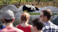 Da Mao, the male giant panda at the Toronto Zoo, is relatively comfortable with the large crowds he has been attracting. (Moe Doiron/The Globe and Mail)
