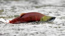 A sockeye salmon scurries through shallow water in the Adams River while preparing to spawn near Chase, British Columbia northeast of Vancouver. (Andy Clark/ Reuters/Andy Clark/ Reuters)