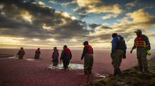 Migrant workers make their way into a chilly cranberry bog at Maybog farms in Richmond, B.C., on Nov. 3, 2013, during the last few days of the year's cranberry harvest. (JOHN LEHMANN/THE GLOBE AND MAIL)