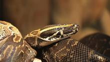 Closeup of an African rock python. (iStockphoto)