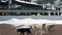 Stray dogs sit outside the Rosa Khutor Extreme Park course, a venue for the snowboarding and freestyle competitions of the 2014 Winter Olympics, in Sochi, Russia, Monday, Feb. 3, 2014. A pest control company which has been killing stray dogs in Sochi for years told The Associated Press on Monday that it has a contract to exterminate more of the animals throughout the Olympics. (Pavel Golovkin/AP)