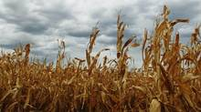 Dry corn is pictured in an Oklahoma field. While the massive drought in the United States has garnered a lot of attention, the situation is made worse by a shortage of rain that has damaged wheat crops in Russia, Ukraine and Kazakhstan. (Sue Ogrocki/Associated Press)
