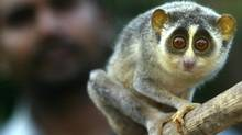 A Slender Loris (Loris tardigradus) perches on a stick held by Sharath Babu of People For Animals (PFA) at a shelter for animals on the outskirts of Bangalore, India, Wednesday, June 14, 2006. (GAUTAM SINGH/AP)