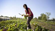 Amy Cheng of Red Pocket Farm picks bok choy. (Moe Doiron/The Globe and Mail)