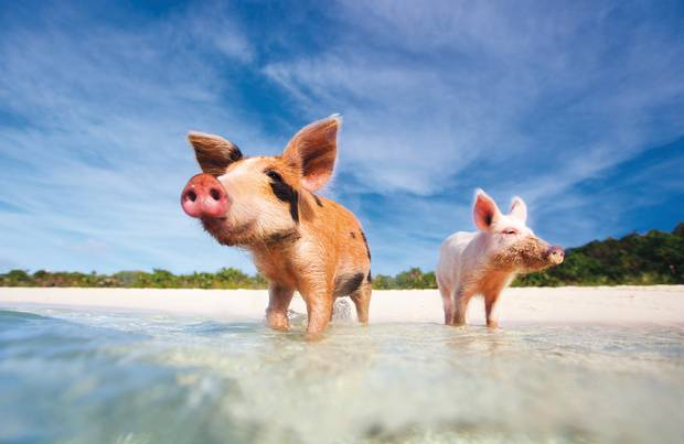 Pig Beach in the Bahamas lets swimmers dip their toes with an unusual set of company, wild pigs.
