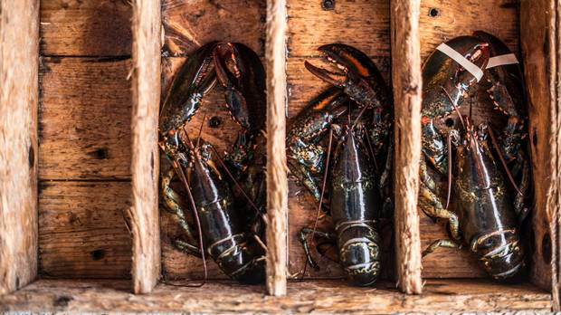 Fresh-caught lobster sit in a wooden box during an early morning expedition.