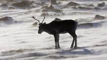 A wild caribou roams the tundra near The Meadowbank Gold Mine located in the Nunavut Territory of Canada on March 25, 2009. The federal government has submerged its multi-faceted plan to overhaul environmental protections in a much broader piece of legislation. The budget bill repeals the Kyoto Protocol Implementation Act, overhauls the Fisheries Act to focus only on major waterways, and it also gives federal cabinet the final say over oil and gas pipelines. THE CANADIAN PRESS/Nathan Denette (NATHAN DENETTE/THE CANADIAN PRESS)