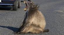 There is baboon at the Cape of Good Hope in South Africa that now has a taste for breath mints. (iStockphoto)