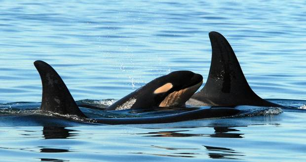 A newborn baby killer whale is shown swimming with whales believed to be the baby's mother and brother in Haro Strait, Wash.