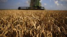 Harvest is well under way across the Prairies and while farmers often say that they don't count the crop until it's all in the bin, there's already talk of a record year. (JIM YOUNG/REUTERS)