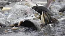 Pink salmon froth the water around Kodiak, Alaska's Buskin River weir, Sept. 11, 2012. (James Brooks/AP)