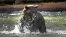 A grizzly bear in the Orford River lunges for a salmon October 12, 2011. (John Lehmann/The Globe and Mail/John Lehmann/The Globe and Mail)