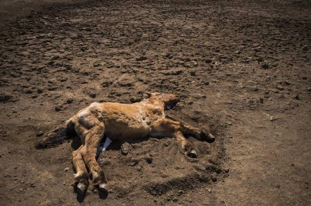 Across Mongolia, nearly 860,000 animals have already died from this year's dzud, a weather phenomenon where a summer of drought is followed by a winter of cold and heavy snow. Today, carcasses lie in dry gulches and dried-out watering holes.