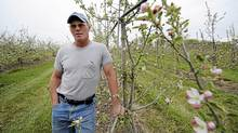 Fred Archibald, owner of Archibald's Orchard and Estate Winery is photographed amongst his apple orchard on May 7 2012. The unseasonal weather experienced in southern Ontario may have a devastating effect on apple orchards. (Fred Lum/The Globe and Mail)