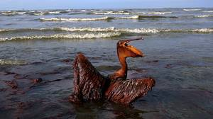 A brown pelican coated in heavy oil wallows in the surf on East Grand Terre Island, Louisiana on Friday, June 4. Oil is coming as
