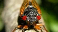 Magicicada septendecim, a.k.a. the 17-year-periodical cicada (Martin Hauser)