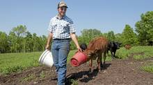 Matt Rabbie of Sunset farm in Prince Edward County give his cattle some feed on his family farm on May 31, 2011. Rabbies cattle has been vaccinated against the e-colie. (Lars Hagberg for the Globe and Mail/Lars Hagberg for the Globe and Mail)