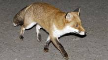 A feral fox moves down Downing Street in London on Dec. 16, 2008. (Matt Dunham/ASSOCIATED PRESS)