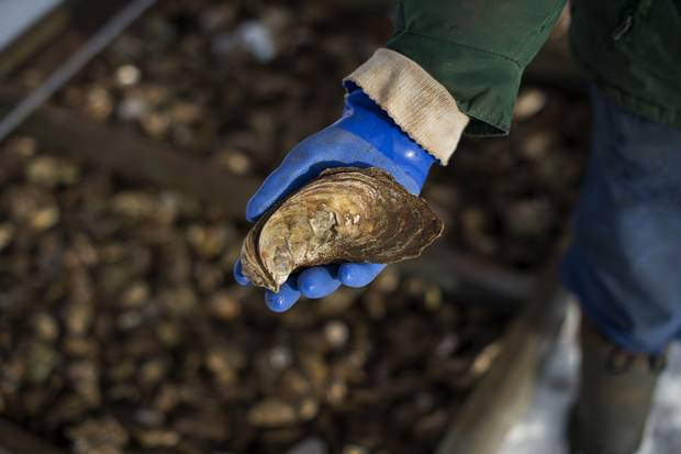An oyster, estimated to be eight years old. Thirty per cent of the farmed oysters produced in Canada are grown on PEI.