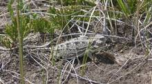 Greater short-horned lizard, July 2009 - Grasslands National Park. (Parks Canada)
