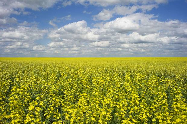 Canola crops used for making cooking oil sits in full bloom near Fort Macleod, Alta.