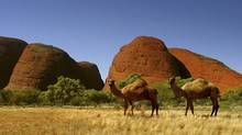 Two feral camels stand roam in the Australian outback. The animals are legacy of the herds introduced in the 19th century to help settle the continent's interior. (TIM WIMBORNE/TIM WIMBORNE/REUTERS)