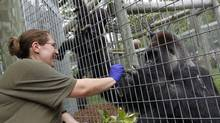 Zookeeper Sonia Hojka hand-feeds Charles, 39, at the Toronto Zoo's African Pavillion on July 11, 2011. (Peter Power/The Globe and Mail)