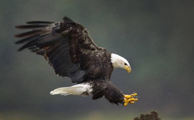 A Bald Eagle on Harrison River near Harrison Mills, B.C.