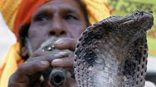 An Indian snake charmer plays his flute in front of a king cobra in Bhopal, India. (AFP/Getty Images/AFP/Getty Images)