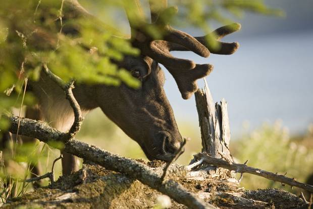 Woodland caribou in Ontario's Slate Islands.