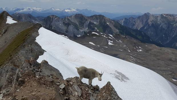 A small herd of mountain goats have made their home around the Durrand Glacier.