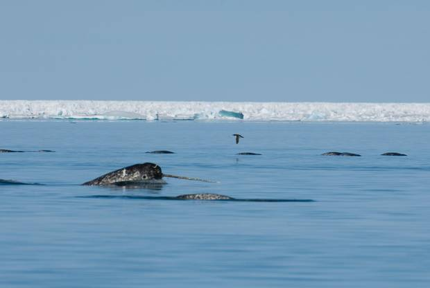A narwhal displays his tusk at the surface of the water.