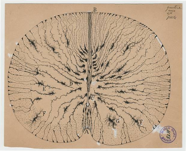 Santiago Ramón y Cajal glial cells of the mouse spinal cord, 1899 ink and pencil on paper.