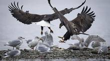 Two bald eagles fight off seagulls for the remains of dead salmon along the Harrison River, B.C.. (John Lehmann/The Globe and Mail)