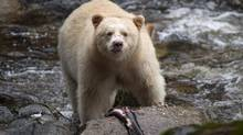 A Kermode bear, better known as the Spirit Bear, is seen fishing in the Riordan River on Gribbell Island in the Great Bear Rainforest, B.C. Wednesday, Sept, 18, 2013. (JONATHAN HAYWARD/THE CANADIAN PRESS)