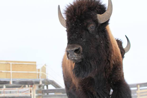 The First calves of reintroduced bison are due to be born in May.