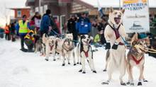 Race veteran Brian Wilmshurst is one of only 18 Yukon Quest contestants this year. (VINCE FEDOROFF/THE CANADIAN PRESS)