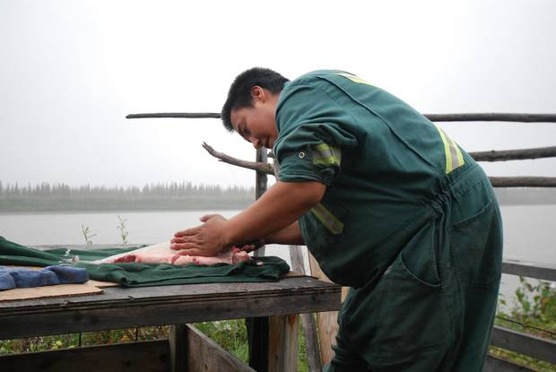 Gwich'in fisher William Tyrell prepares dry-fish near his camp at Aklavik.