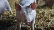 For Manitoba's huge pig industry, the last five years have been biblical in their awfulness (Ian Willms/Boreal Collective)