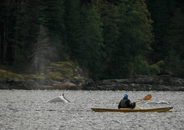 A Canada C3 participant kayaks near two humpback whales in Teakerne Inlet, B.C.