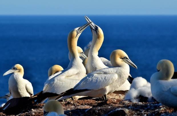 Northern gannets on Bonaventure Island.