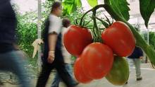 Delta BC: Employees of Gipaanda Greenhouse walk past Roma tomatoes on their way to lunch in the 7.3 hectare greenhouse. (Lyle Stafford for The Globe and Mail/Lyle Stafford for The Globe and Mail)