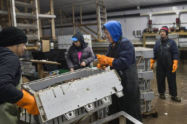 Workers lift a case of lobster while grading shellfish at Royal Star Foods in Tignish, PEI.